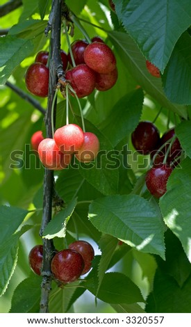Cherries hang on a stem ready to pick