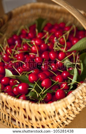 Cherries in a basket after picking