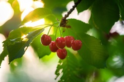 Cherries in the orchard. Cherry branch with ripe red berries in garden.