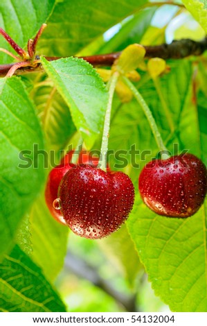 Cherries on a tree with water-drops on it after rain