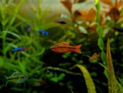 cherry barbs fish in aquarium