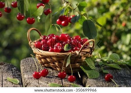 Cherry basket /  cherry tree branch/ fresh cherries/ sweet cherries