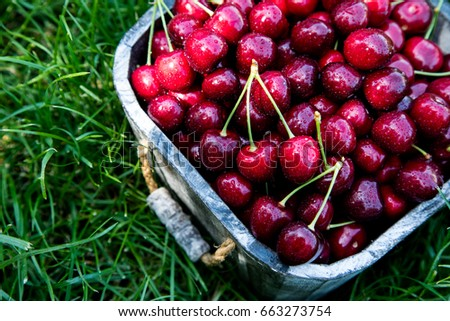 Cherry basket. cherry tree branch. fresh ripe cherries. sweet cherries in garden.