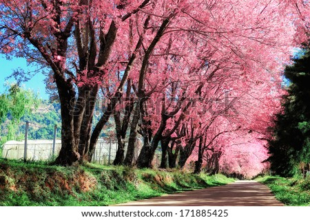 Cherry Blossom - Shutterstock ID 171885425