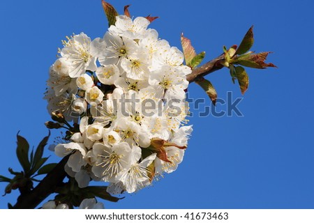 stock-photo-cherry-blossom-41673463.jpg