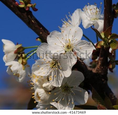 stock-photo-cherry-blossom-41673469.jpg