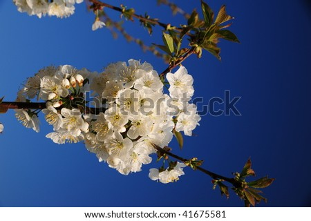 stock-photo-cherry-blossom-41675581.jpg