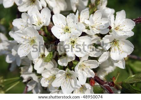 stock-photo-cherry-blossom-48950074.jpg