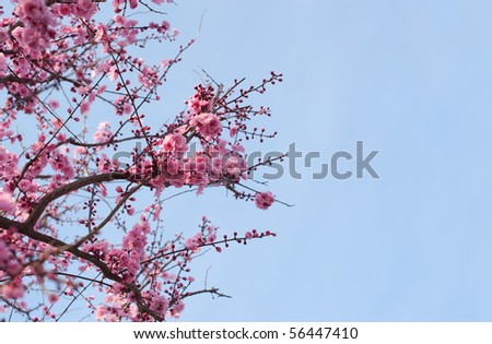 cherry blossom against a brilliant blue sky