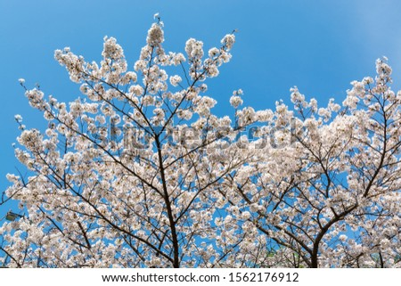 Cherry blossom against blue sky, Prunus serrulata, which is commonly called sakura