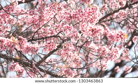 Cherry blossom  and sunlight