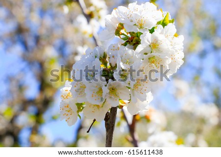 Shutterstock Cherry blossom at Jerte Valley, Cerezos en flor Valle del Jerte. Cherry blossom flowers are in bloom.