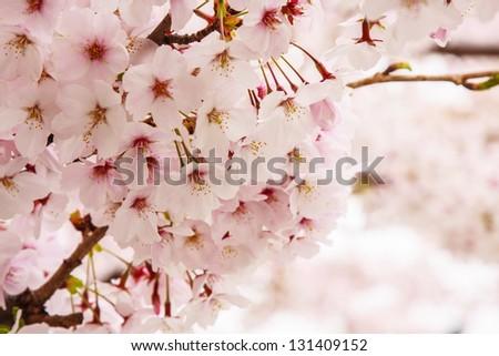 Cherry Blossom at Sakura in Japan.