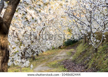 Cherry Blossom at the Jerte Valley, Extremadura, Spain.