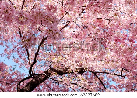 cherry blossom background with lovely pink color