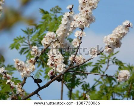 cherry blossom branch, flowering branch in spring