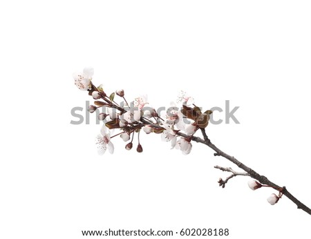 Cherry blossom branch, isolated on white background #602028188