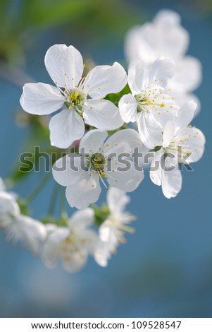 Cherry blossom/ cherry tree blossom against blue sky background