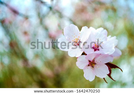 Cherry blossom close up. Selective focus and copy space. Spring sakura blossoms. Pink cherry blossom twig close up over blue bokeh background. Spring trees blossom. Spring blossom background.