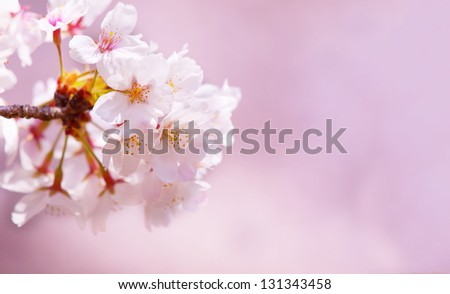 Cherry blossom, close up with soft pink bokeh background. - stock photo
