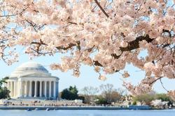 Cherry blossom festival at Thomas Jefferson Memorial in Washington DC, United States