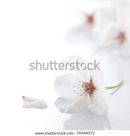 Cherry blossom flower - stock photo