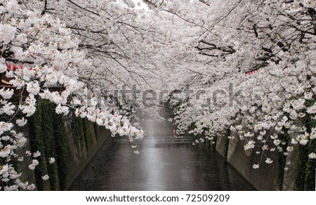 cherry blossom flower at naga meguro canal