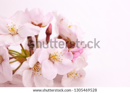 Cherry blossom flower really close up. Shallow depth of field. Soft focus. Soft Pink background. #1305469528