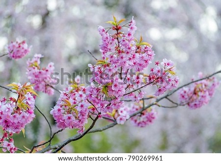 Bright pink flowers of sakura on the high mountains of chiang mai bright pink flowers of sakura on the high mountains of chiang mai spring background and beautiful natural scenery ez canvas mightylinksfo