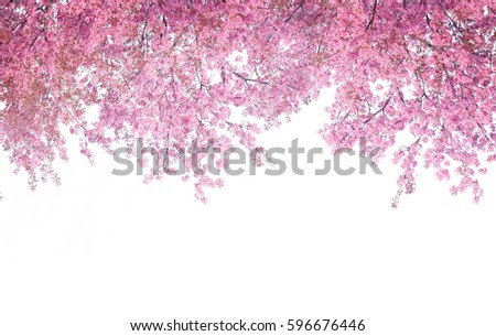 Cherry blossom frame use as background or for advertising in cherry blossom festival season