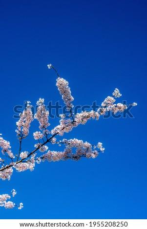 Cherry blossom in bloom at Worden Park, Leyland, Lancasire. Stockfoto ©