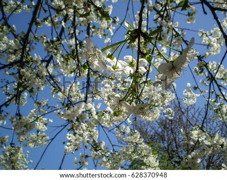Cherry blossom in bright sunlight, with blue sky background #628370948