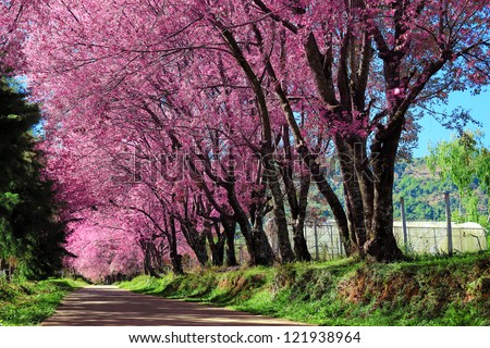 Cherry Blossom in Chiang mai Thailand - Shutterstock ID 121938964