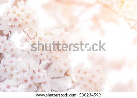 Cherry blossom in spring for background or copy space for text #530234599