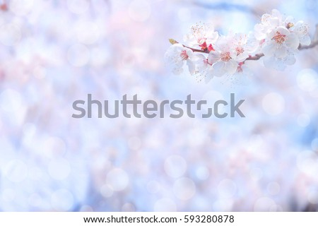 Cherry blossom in spring for background or copy space for text   #593280878