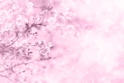 Cherry blossom in spring park. Cherry blossom with defocused hearts and light bokeh background. Pink sakura flowers and blurred background