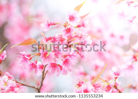 Cherry Blossom in spring with soft focus, unfocused blurred spring cherry bloom, bokeh flower background, pastel and soft flower background.