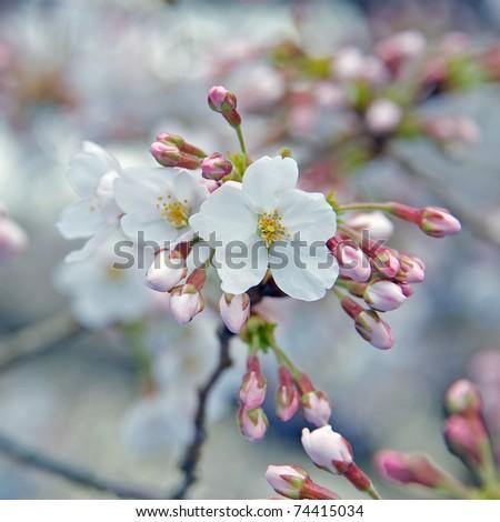 Cherry Blossom in Tokyo's Yoyogi Park, Japan