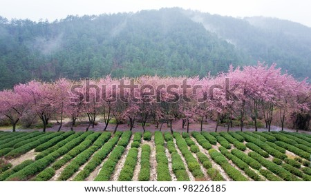 cherry blossom in valley