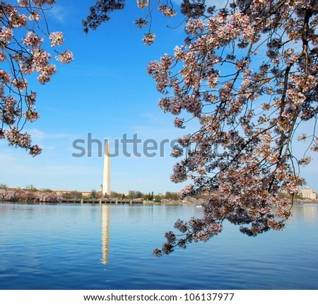 Cherry Blossom in Washington DC, USA - stock photo