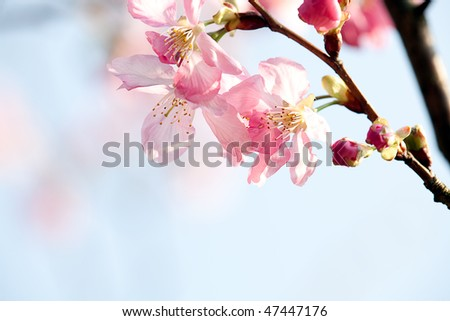 Cherry blossom isolate with sky blue color