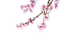 Cherry blossom isolated in front of white background