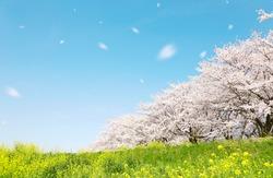 cherry blossom, Japanese spring scenics