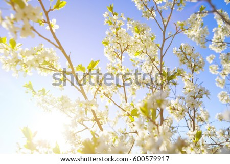 cherry blossom, Japanese spring scenics Spring flowers Spring Background #600579917