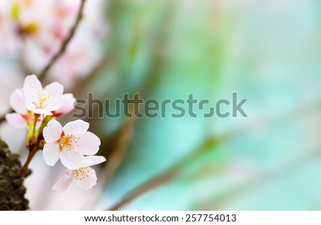 Cherry blossom  looming near a tree trunk with beautiful pastel blue background. Shallow depth of focus.