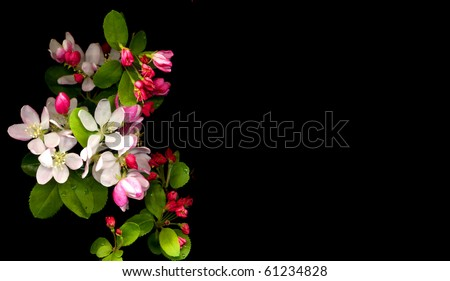 cherry blossom on black - stock photo