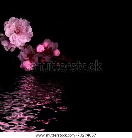 cherry blossom on black with reflection