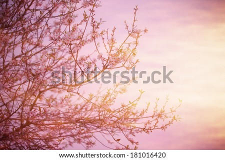Cherry blossom over pink sunset, blooming fruit tree, natural border, spring season, fresh apple flowers on the twig in the morning, springtime nature, fine art style