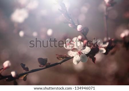 Cherry blossom. Photo of cherry tree blossom in sunset.