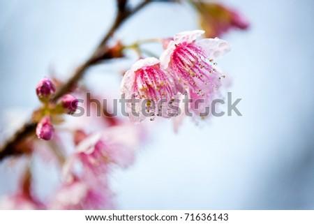Cherry Blossom , Pink Sakura flower close-up with raindrop taken in natural light